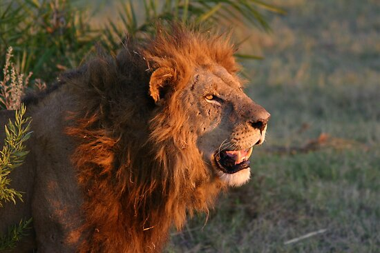Male lion in botswana dusk( I am the still in control of this pride!) by jozi1