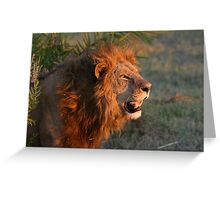 Male lion in botswana dusk( I am the still in control of this pride!) Greeting Card