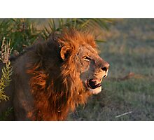 Male lion in botswana dusk( I am the still in control of this pride!) Photographic Print