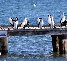 A flight of cormorants, Cervantes, Western Australia by ladieslounge