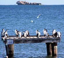 Cormorants, Cervantes, Western Australia by ladieslounge
