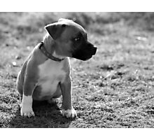 Staffordshire Bull-Terrier Puppy Photographic Print