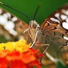 Feeding Butterfly by sarahncraig