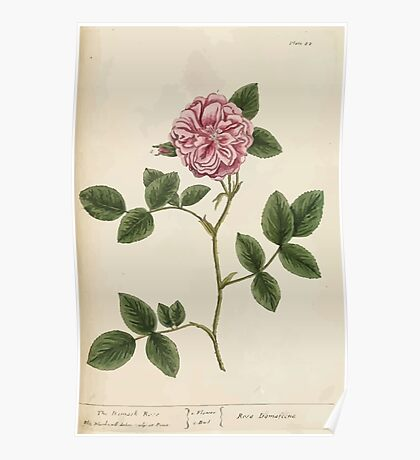 A curious herbal Elisabeth Blackwell John Norse Samuel Harding 1737 0212 The Damask Rose Poster