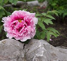 Peony on the Rocks - the Marvels of Spring by Georgia Mizuleva