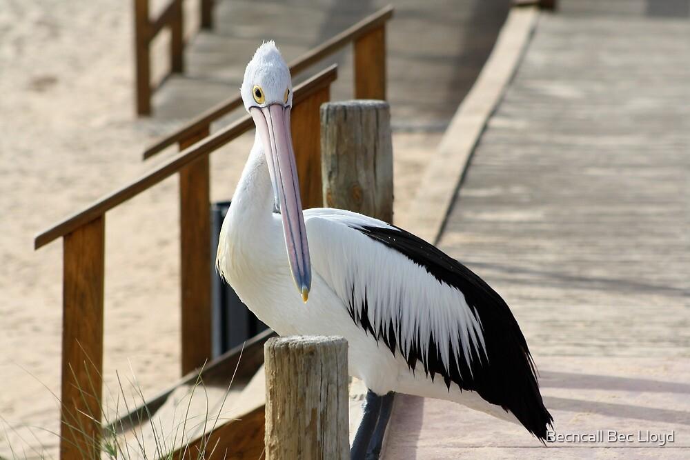 Pelican, Monkey Mia, Western Australia by Becncall Bec Lloyd