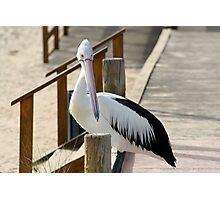 Pelican, Monkey Mia, Western Australia Photographic Print