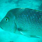 Spangled Emperor 2, Ningaloo Reef, Coral Bay by ladieslounge