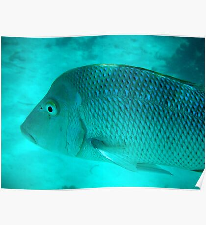 Spangled Emperor 2, Ningaloo Reef, Coral Bay Poster