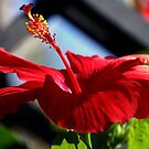 Big Red Hibiscus by Stormygirl