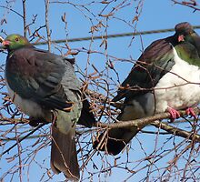 Don't worry! Wood Pigeon Pair - New Zealand by AndreaEL