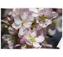 almond blossum Poster
