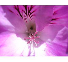 Pink Pelagonium Photographic Print