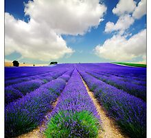 Lavender Field - (3a) by MoGeoPhoto
