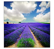 Lavender Field - (3a) Photographic Print