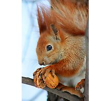 red squirrel with nut  Photographic Print