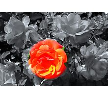 Rose Focal Point  Photographic Print