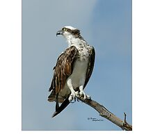Handsome osprey hawk by TranquilArt