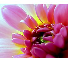 Pink Dahlia of Lovely Color Photographic Print