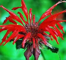 Red flower on Blue Ridge Parkway by DreamCatchers