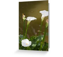 calla lily  in the garden Greeting Card
