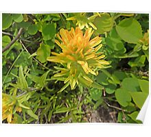 Western Indian Paintbrush Poster