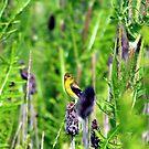 Goldfinch by Dave & Trena Puckett