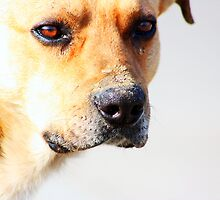 Close up of an beautiful sad yellow dog by a1luha