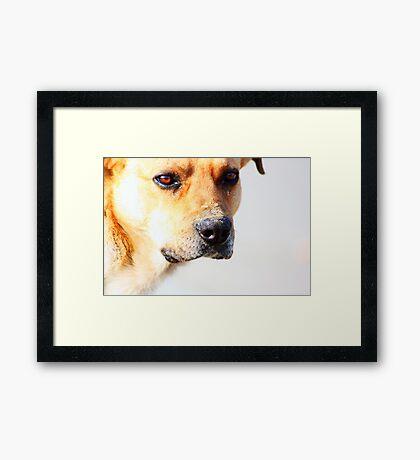 Close up of an beautiful sad yellow dog Framed Print