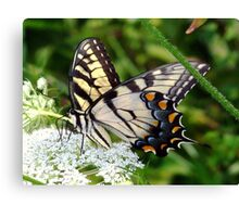 A male Eastern Tiger Swallowtail having lunch. Canvas Print