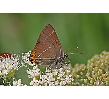 White Letter Hairstreak butterfly Photographic Print