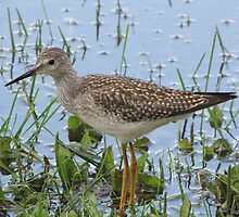 Lesser Yellow Legs by Lee-Anne Carver