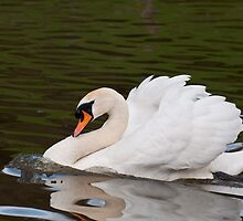 Grumps: Male Mute Swan by Ann Miller
