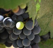 Albino Malbec Grape by dubbs519