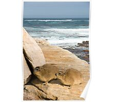 Rock Hyrax (Procavia capensis) at Cape of Good Hope, South Africa Poster