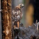 Red-tailed Hawk by Martin Smart