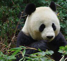 Panda Bear by Karen Checca