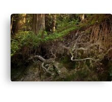 Roots of Redwoods Canvas Print