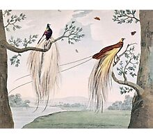 Greater Paradise Birds Painting Photographic Print