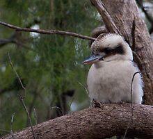 Kookaburra sitting in the.... by Ben Breen