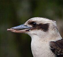 Kookaburra 2 by Ben Breen