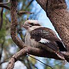 Kookaburra 3 by Ben Breen