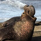 Mature Male Sea Lion by CarolM