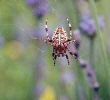 Garden Spider in Lavender 2 by M R Cooper