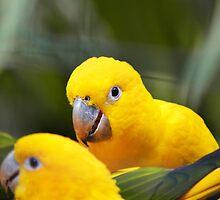 Three yellow birds by renatosaltori