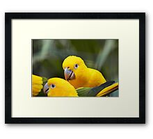 Three yellow birds Framed Print