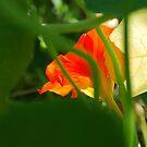 Sunlit Nasturtium by Lozzar Flowers & Art