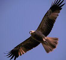 Wedge Tail Eagle Darwin Australia by Sean  Carroll