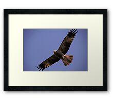 Wedge Tail Eagle Darwin Australia Framed Print