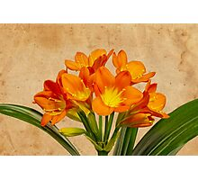 Orange Clivia Lily Blossoms - Textured  Photographic Print